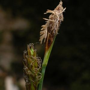 Carex brevicollis DC. (Laiche à bec court)