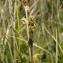 David GENOUD - Carex curta Gooden. [1794]