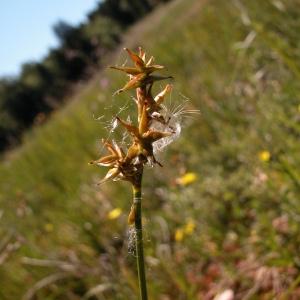 Photographie n°44914 du taxon Carex echinata Murray [1770]
