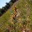 David GENOUD - Carex echinata Murray [1770]