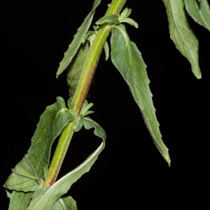 Photographie n°44959 du taxon Epilobium tetragonum subsp. tetragonum