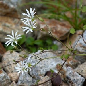 - Stellaria nemorum subsp. montana (Pierrat) Berher [1887]