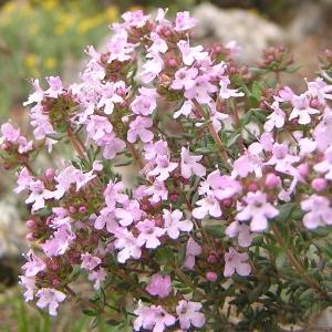 Photographie n°44968 du taxon Saponaria ocymoides L.