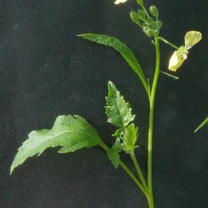 Photographie n°44988 du taxon Raphanus raphanistrum L. [1753]