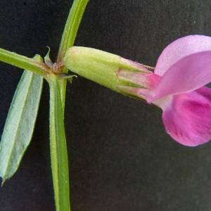 Photographie n°44994 du taxon Vicia sativa subsp. nigra (L.) Ehrh. [1780]