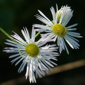 Erigeron annuus (L.) Desf. var. annuus (Vergerette annuelle)