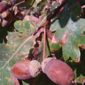 Photographie n°45110 du taxon Quercus robur L. [1753]