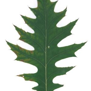 Photographie n°45135 du taxon Quercus rubra L. [1753]