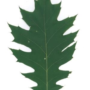 Photographie n°45136 du taxon Quercus rubra L. [1753]