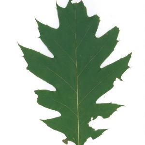 Photographie n°45137 du taxon Quercus rubra L. [1753]