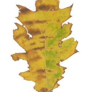 Photographie n°45138 du taxon Quercus rubra L. [1753]