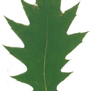 Photographie n°45139 du taxon Quercus rubra L. [1753]