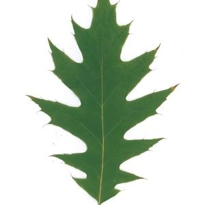 Photographie n°45140 du taxon Quercus rubra L. [1753]