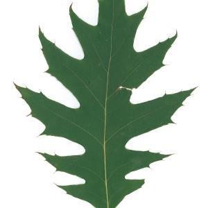 Photographie n°45142 du taxon Quercus rubra L. [1753]