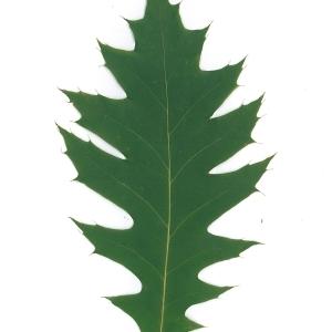 Photographie n°45143 du taxon Quercus rubra L. [1753]