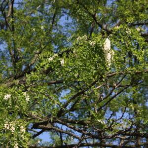 Photographie n°45202 du taxon Robinia pseudoacacia L.