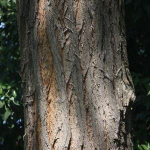 Photographie n°45203 du taxon Robinia pseudoacacia L.