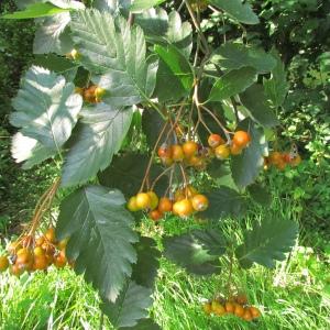 Photographie n°45250 du taxon Sorbus intermedia (Ehrh.) Pers. [1806]