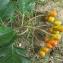 Annick Larbouillat - Sorbus intermedia (Ehrh.) Pers. [1806]