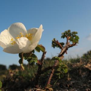 Photographie n°45254 du taxon Rosa pimpinellifolia L. [1759]