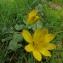 Annick Larbouillat - Ranunculus ficaria L.