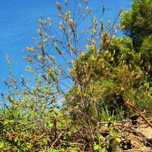 - Odontites luteus subsp. luteus