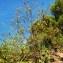 Gabriel CHAPUIS - Odontites luteus subsp. luteus