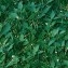 Gabriel CHAPUIS - Solanum nigrum subsp. nigrum