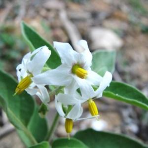 Photographie n°45345 du taxon Solanum nigrum subsp. nigrum