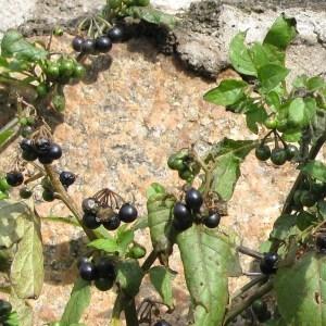 Photographie n°45346 du taxon Solanum nigrum subsp. nigrum
