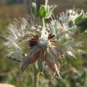 Photographie n°45454 du taxon Picris echioides L.