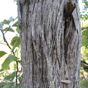 Photographie n°45468 du taxon Juniperus communis L. [1753]