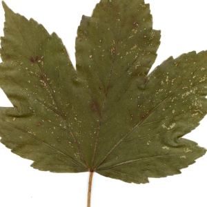 Photographie n°45503 du taxon Acer pseudoplatanus L.
