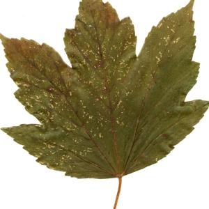 Photographie n°45504 du taxon Acer pseudoplatanus L.