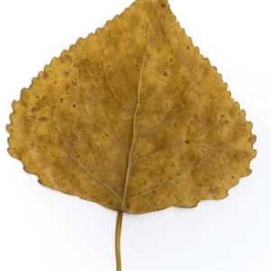Photographie n°45519 du taxon Populus nigra L.