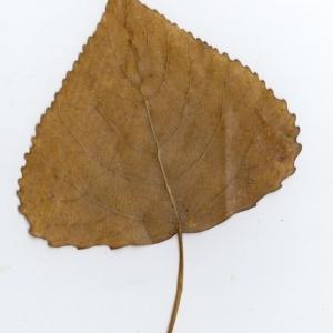 Photographie n°45520 du taxon Populus nigra L.