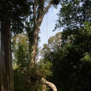 Photographie n°45527 du taxon Ficus L. [1753]