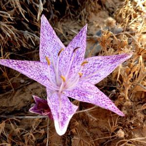 Colchicum variegatum L.