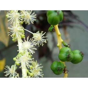 Codiaeum variegatum (L.) Rumph. ex A.Juss. (Arbre à pain Basse-Terre)