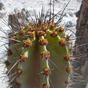 Photographie n°45664 du taxon Cactaceae