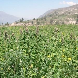 Photographie n°45671 du taxon Chenopodium quinoa Willd.