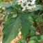 Annick Larbouillat - Solanum nigrum L.