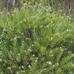 Photographie n°45695 du taxon Daphne gnidium L.