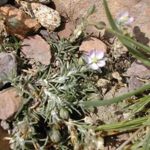 Photographie n°45710 du taxon Spergularia rubra (L.) J.Presl & C.Presl