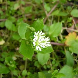 Photographie n°45718 du taxon Stellaria media (L.) Vill. [1789]