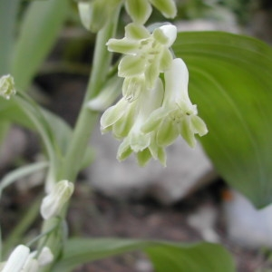 Photographie n°45731 du taxon Polygonatum multiflorum (L.) All.