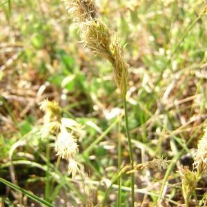 Photographie n°45786 du taxon Carex arenaria L.