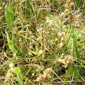 Photographie n°45787 du taxon Carex arenaria L.