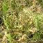 Augustin ROCHE - Carex arenaria L.