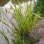 Augustin Roche - Carex pseudocyperus L.